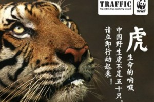WWF and TRAFFIC China - Listen to the tiger