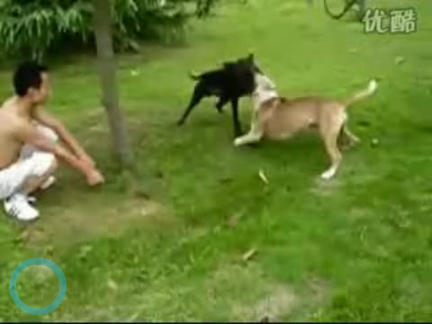 Video of Dog Fighting in China & Chinese Reactions - chinaSMACK