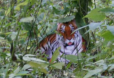 Zhou Zhenglong, the Chinese man famous for claiming to have pictures proving that wild South China Tiger are not extinct, again states that his photos are real.