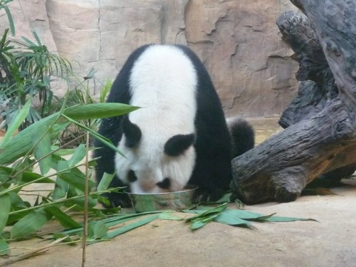 Ming Ming, a giant panda in Guangzhou Zoo eating from a big bowl.