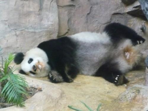 Giant panda Ming Ming in Guangzhou lying down.