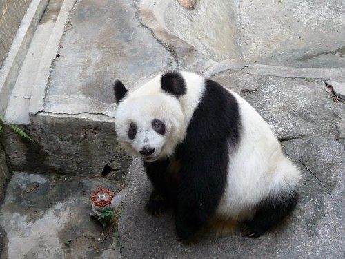 A picture of Yongba looking up from her outer cage, waiting for the zoo staff to give her two pieces of apple as a 'reward' for taking pictures with zoo tourists.