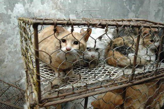 Nearly 1000 cats were discovered by Chinese netizens stuffed in cages without food or water in Tianjin, China, waiting to be sold & slaughtered for their meat.