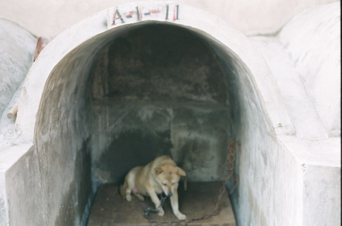 A dog kept for medical experiments in China.