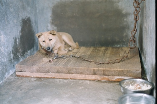 A chained dog in a concrete kennel in China.