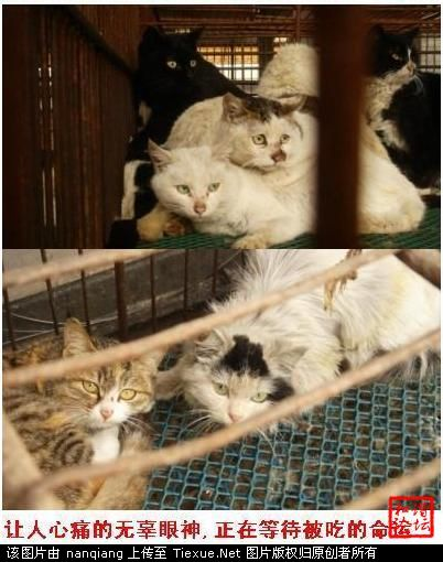 Caged cats in China, awaiting their fates to become food.
