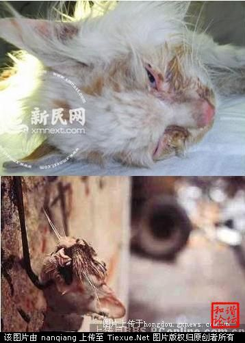 Dead cats in China, one hung on a hook by the jaw.