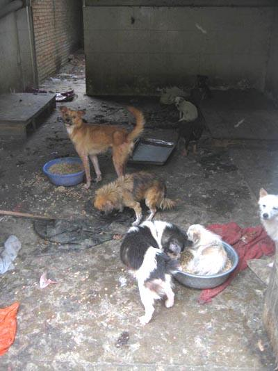 Chinese dogs living in horrible conditions.