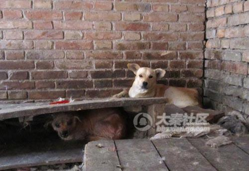 Chinese dogs living in terrible conditions.
