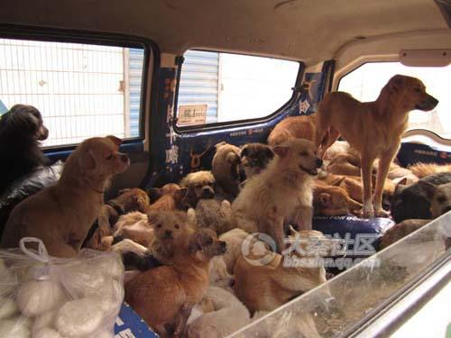 Chinese animal rescuers load mistreated dogs into a van.
