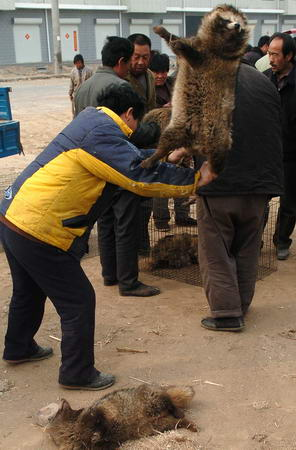 Chinese fur trader slams a raccoon on the ground to knock it out.