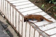 In Anhui China, a netizen tells a sad story of two weasels.