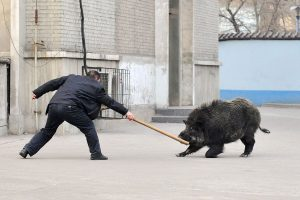 """A police officer with a wooden stick/pole confronts the wild boar. Around 2pm, a """"wild boar"""" ran into Zhongji Zhigong Hospital in Taiyuan city of Shanxi province through a sewer drainage pipe, hitting and injuring an elderly person riding a bicycle in the process."""