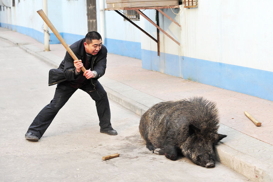 Chinese Police With Sticks & Guns vs  Rampaging Wild Boar