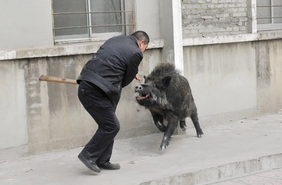 Chinese police with sticks guns vs rampaging wild boar