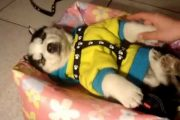 In China, a pet husky puppy is so tired it refuses to wake up, ignoring the teasing of its owner!