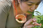 A tea leaf picking girl plucks tender tea leaves with her mouth before placing them in a willow funnel held between her breasts.