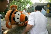 "A ""tranquilized"" escaped ""tiger"" at the Chengdu Zoo in Sichuan province, China being carried away."