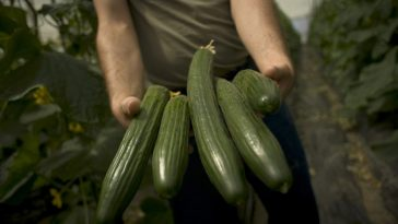 A farmer in Malaga, Spain shows his cucumbers.