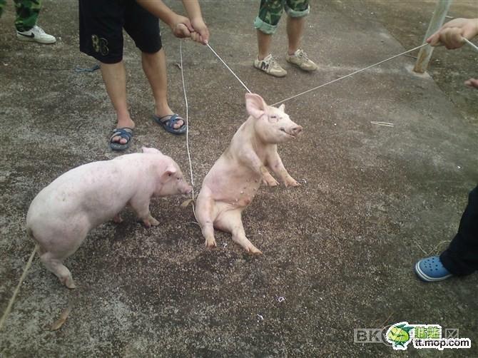Pig Abuse