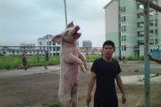 """Pig Abuse Gate"" in Nanning, China, where photos allegedly of students abusing pigs surface on the Chinese internet."