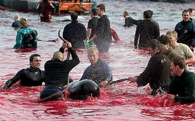 Young men killing pilot whales, in bloody waters, at the Faroe Islands.