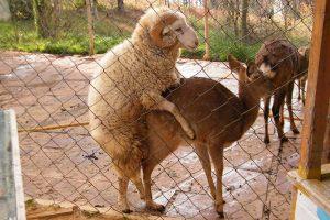 Chang Mao, a sheep, mounts Chun Zi, a deer at a wild animal park in China.