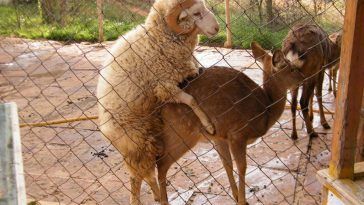 Chang Mao, a sheep, mounts Chun Zi, a deer at a wild animal park in China.