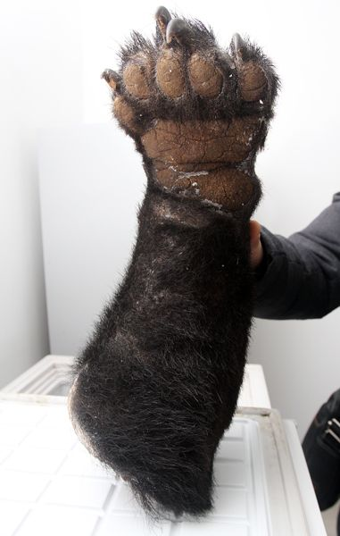 A severed bear paw seized at Chongqing Airport after it was smuggled into China.