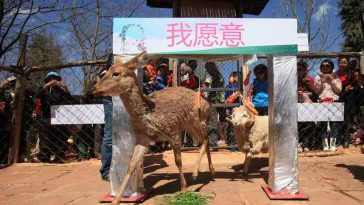 An inter-species sheep and deer couple living in a Yunnan Zoo have finally tied the knot with a Valentine's Day wedding ceremony.