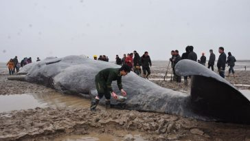 A Chinese soldier pours water on a beached whale trying to keep it moist.