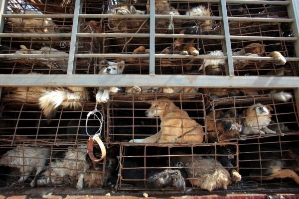 This picture shows the cages that contain the dogs are very small.