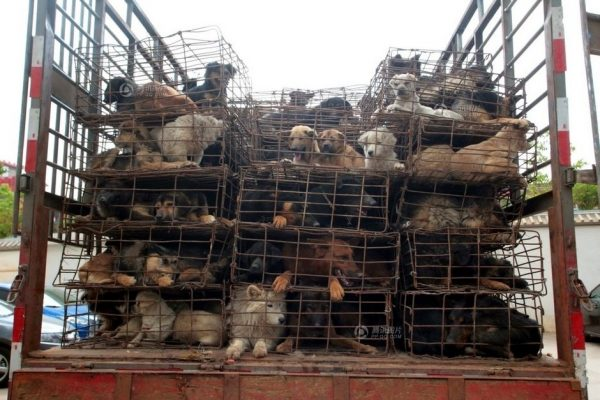 This picture shows dogs are contained in crowed cages.
