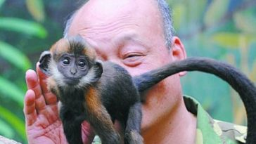 Zhang Bangsheng, a zoo caretaker, licks the butt of a small Francois langur to help it defecate.