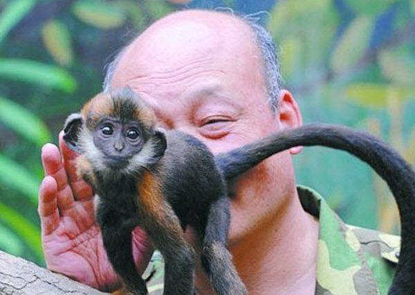 Zhang Bangsheng, a zoo caretaker, licks the butt of a small Francois langur to help it defecate.