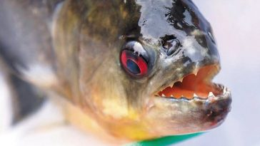 Piranhas native to South America found in Southern China rivers.