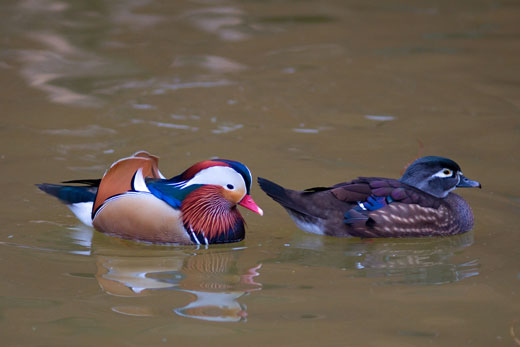 Male and female Mandarin Ducks.