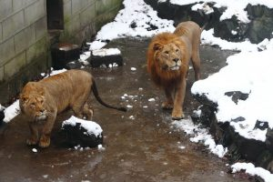 The lions are looking at the visitors.