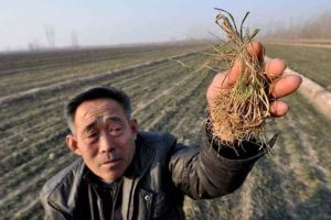 An elderly Chinese farmer holding up a sample of his dead crop.