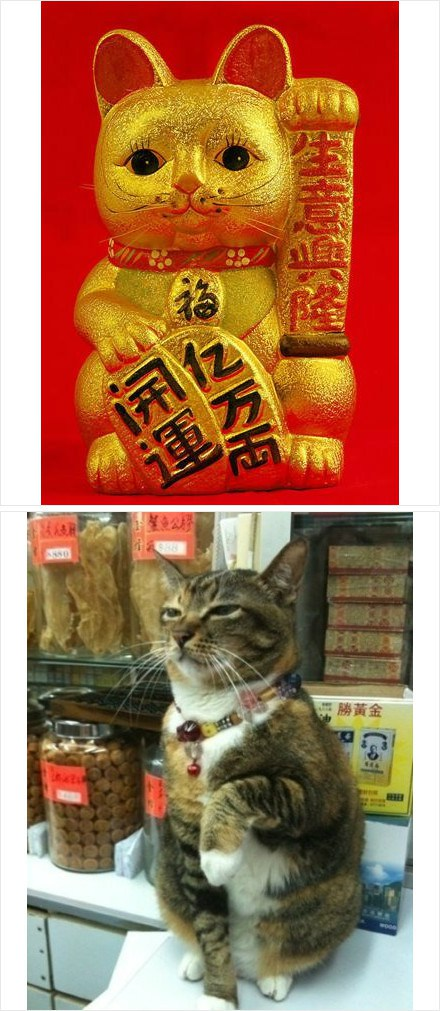 A cat mimicks the maneki neko.
