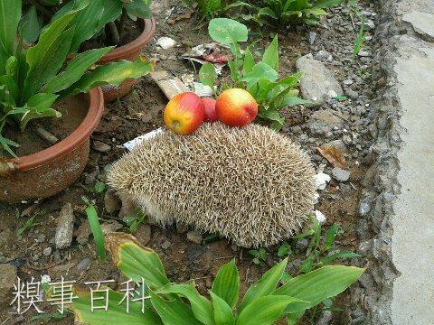 A pet hedgehog was set free