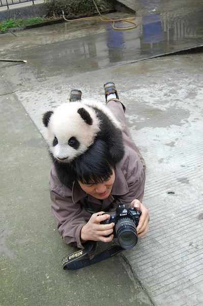 Panda on the top of a photographer's head