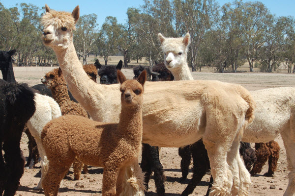 "Alpacas aka ""Grass Mud Horse"""