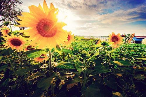 Sunflower positive energy