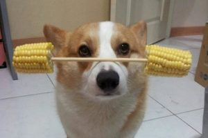 Dog in China balances various objects on his nose/head.