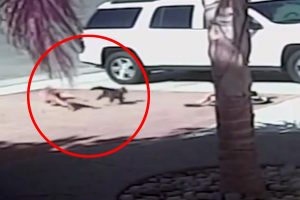 Cat saves little boy from dog attack.