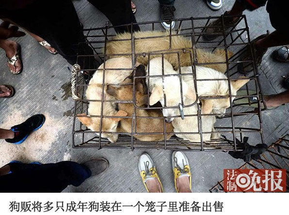 Dog peddlers put multiple adult dogs inside one cage to sell.