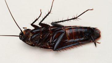 Smoky brown cockroach.