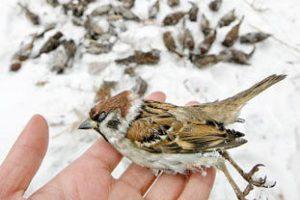 Sparrows, hand holding a dead sparrow bird.