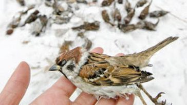 Sparrows, hand holding a dead sparrow bird.